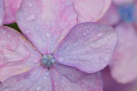 Photo for Macro texture of purple hydrangea flowers with water droplets - Royalty Free Image