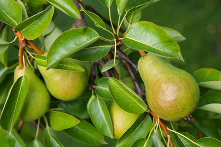 Photo pour Closeup of a Pear tree with its fruit during summer season in Carinthia, Austria - image libre de droit