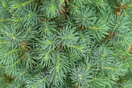Foto de Closeup texture of young Dwarf Pine Tree leaves in green color during summer in Europe - Imagen libre de derechos