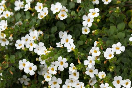Photo pour Soft focus of white Ornamental Bacopa flower with yellow pollen (Chaenostoma cordatum)   - image libre de droit
