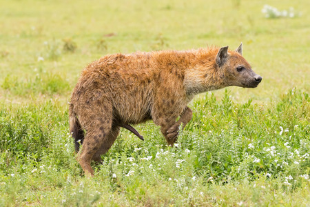 Foto de Side of Spotted hyena, Laughing hyena standing on grass at Serengeti National Park in Tanzania, East Africa (Crocuta crocuta) - Imagen libre de derechos