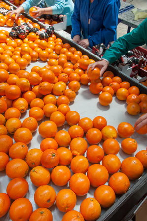 Photo for Farmers manually selecting just worked tarocco oranges for the packaging phase - Royalty Free Image