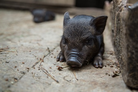 Funny black piglet on a farm looking at the camera with curiosity