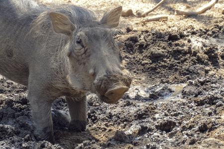 Foto de Warthog using nose to dig in african savannah. Warthog feeds on its knees and uses its tusks to dig the ground. Close up portrait. - Imagen libre de derechos