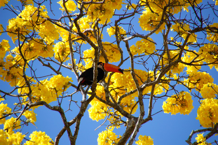 Foto de Bird toucan perched on yellow ipe tree branch. Ramphastos dicolorus. Red-breasted Toucan. - Imagen libre de derechos