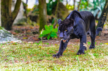 Photo for Black panther walks in the jungle - Royalty Free Image