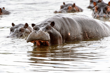 Photo for Scary Hippopotamus in the water, in the Moremi Game Reserve (Okavango River Delta), National Park, Botswana - Royalty Free Image