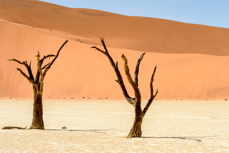 Photo for Dead Acacia erioloba in the Dead Vlei (Dead Valley), Namibia Desert, Africa - Royalty Free Image