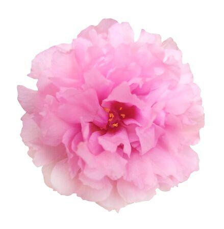 Photo for Pink Damask Rose on white isolated  background - Royalty Free Image