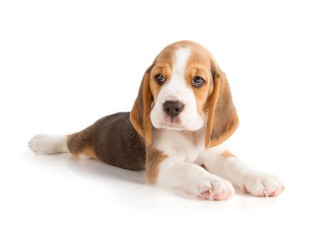 Photo pour Cute Beagle Puppy (5 week old) - image libre de droit