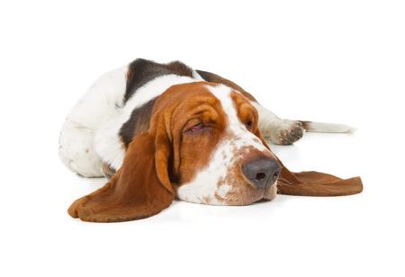 Basset Hound dog sleeping isolated on white background