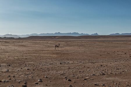 Photo for springbock in the Namibia desert with mountains behind. Sossusvlei. - Royalty Free Image