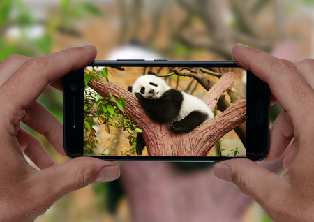 Photo for Man taking a photo of sleeping giant panda baby on the tree with smartphone camera - Royalty Free Image