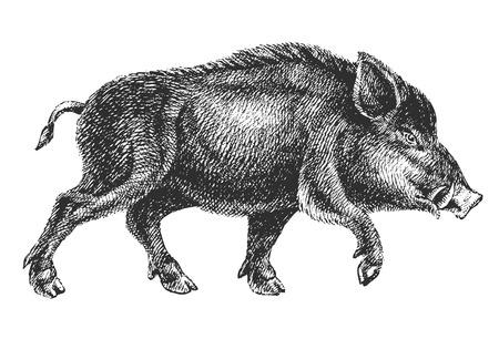 Illustration pour boar drawing - image libre de droit