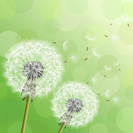 Illustration for Stylish modern nature background with two flowers dandelions and flying fluff. Trendy floral green background with place for text. Abstract beautiful spring or summer wallpaper. Vector illustration - Royalty Free Image
