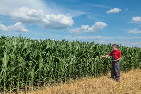 Foto für Farmer or agronomist  inspect quality of corn with tablet in hand - Lizenzfreies Bild