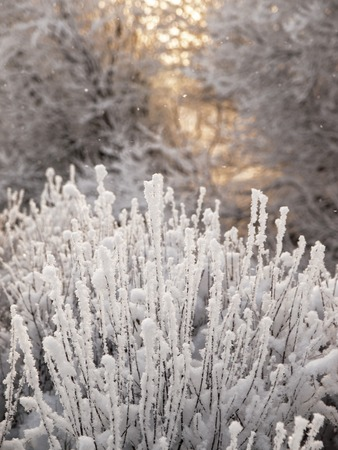 Photo for Christmas fairy tale snow scenary. Winter cloudy landscape with frost on branches of the trees. A dramatic hoary bush and big trees on he background - Royalty Free Image