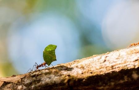 Foto de Ants are carrying on leaves - Imagen libre de derechos