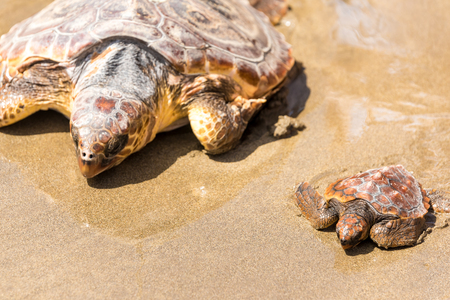 Photo for Turtle Baby with mother on beach - Royalty Free Image