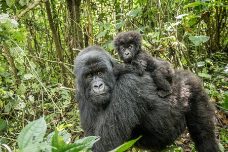Photo pour Baby Mountain gorilla sitting on his mother in the Virunga National Park, Democratic Republic Of Congo. - image libre de droit