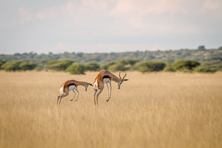 Foto de Two Springboks pronking in the grass in the Central Kalahari, Botswana. - Imagen libre de derechos