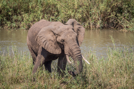 Photo pour Elephant bull eating grass next to a river in the Kruger National Park, South Africa. - image libre de droit