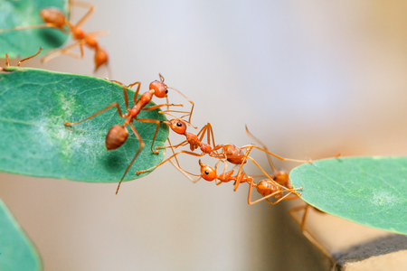 Photo for Ant bridge unity.selective focus. - Royalty Free Image