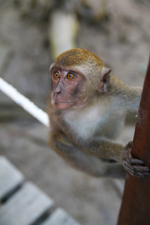 cute Monkey lives in a natural forest in Kota Kinabalu