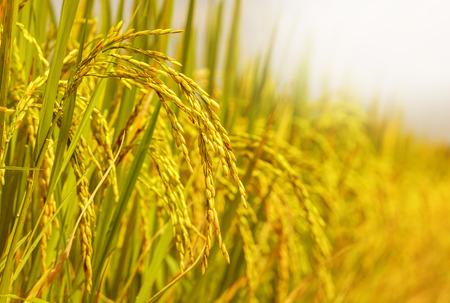 Foto de rice field - Imagen libre de derechos