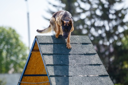 Photo pour Dog goes down from A-frame in agility competition - image libre de droit