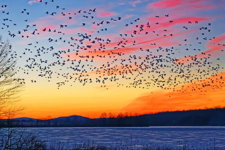 Foto de Thousands of migrating Snow Geese ( Chen caerulescens ) fly over a frozen lake at sunrise in Lancaster County, Pennsylvania, USA. - Imagen libre de derechos