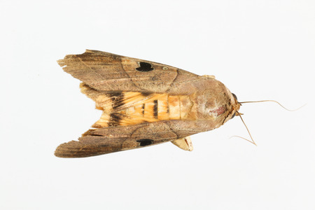 Photo pour moth, brown, yellow and black spot on wing with white background - image libre de droit