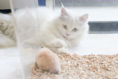 Photo for White Persian cat is lying play with Syrian hamster in transparent plastic cage - Royalty Free Image