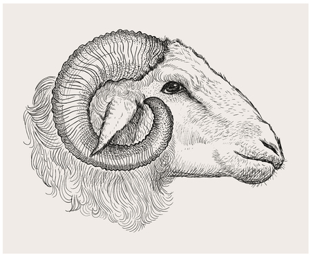 Illustration for Ram head, graphic vector hand drawn illustration - Royalty Free Image
