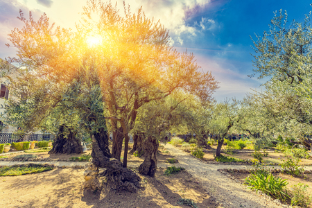 Photo pour The Gethsemane Olive Orchard, Garden located at the foot of the Mount of Olives, Jerusalem, Israel. - image libre de droit
