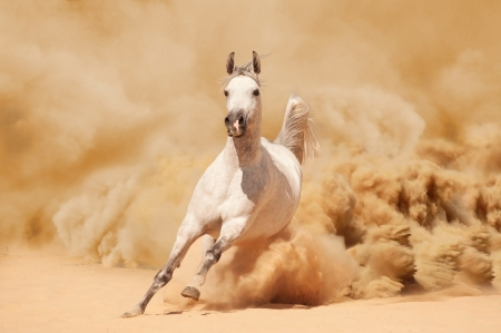 Photo for Arabian horse running out of the Desert Storm - Royalty Free Image