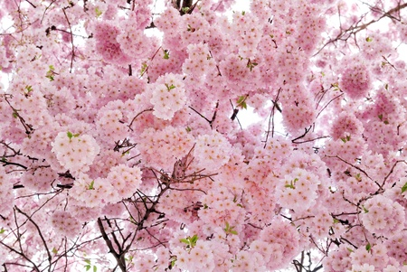 Outdoor shot filled with beautiful cherry blossoms in their smooth pink tones
