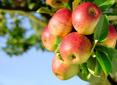 Photo for Colorful outdoor shot containing a bunch of red apples on a branch ready to be harvested - Royalty Free Image