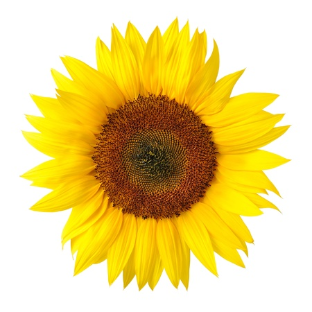 Photo for Bright studio shot of a large beautiful sunflower on white background - Royalty Free Image