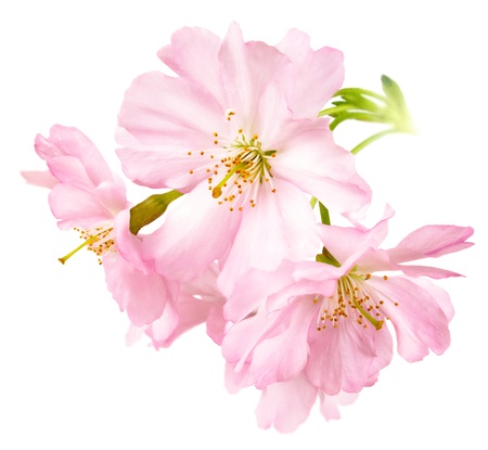 Photo for Studio isolation of delicate bright pink cherry blossoms in square format - Royalty Free Image