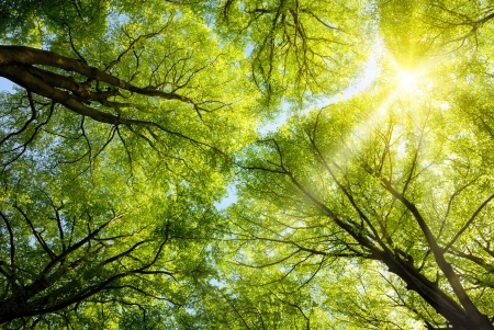 Photo for The warm spring sun shining through the canopy of tall beech trees - Royalty Free Image