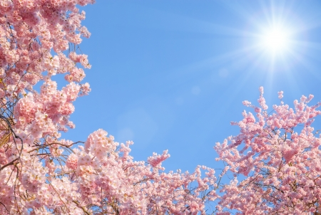 Photo for Blossoming cherry trees framing the nice blue sky with the sun - Royalty Free Image