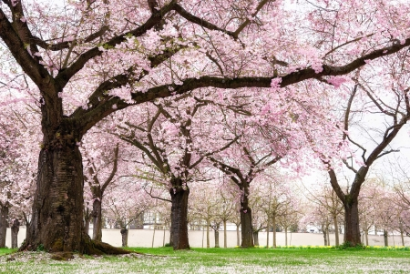 Photo for Blossoming cherry trees in an ornamental garden, pastel colors with dreamy feel  - Royalty Free Image