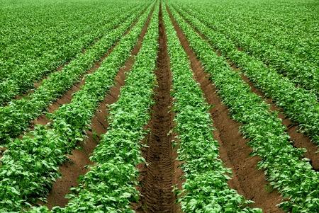 Foto de Field with rows of vibrant green crop plants on dark fertile soil - Imagen libre de derechos