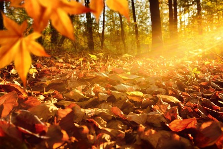 Photo for Intense, warm sunrays illuminate the dry, gold beech leaves covering the forest ground - Royalty Free Image