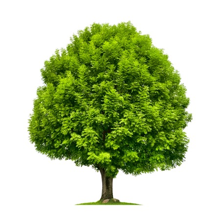 Photo for Perfect ash tree with lush green foliage and nice shape isolated on pure white background - Royalty Free Image