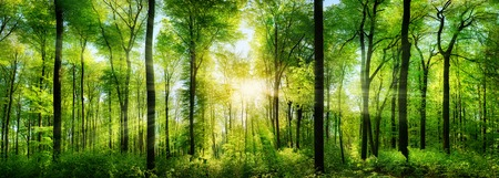 Foto de Panorama of a scenic forest of fresh green deciduous trees with the sun casting its rays of light through the foliage - Imagen libre de derechos