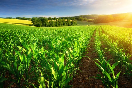 Foto de Rows of young corn plants on a fertile field with dark soil in beautiful warm sunshine, fresh vibrant colors - Imagen libre de derechos