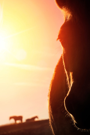 Photo for Backlit closeup portrait of a horse on a paddock and the gold sky in the background, the warm sunlight creates high contrast outlines - Royalty Free Image