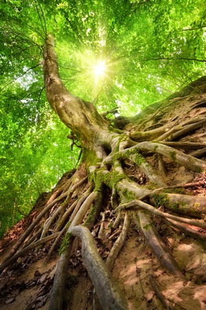 Photo for Forest scenery in worm's eye view emphasizing the roots of a beech tree, with the sun shining through the foliage - Royalty Free Image